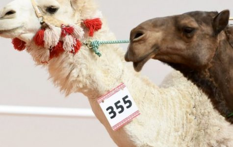 Camels Use Botox At Beauty Pageant