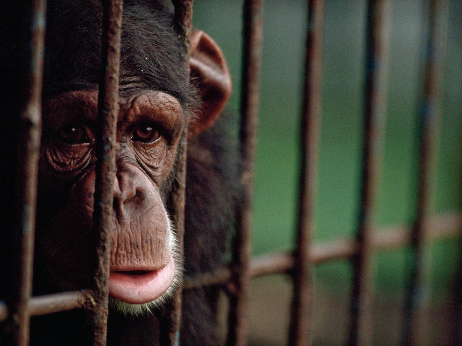 This chimpanzee is communicating its sadness through expressions, much like humans do.