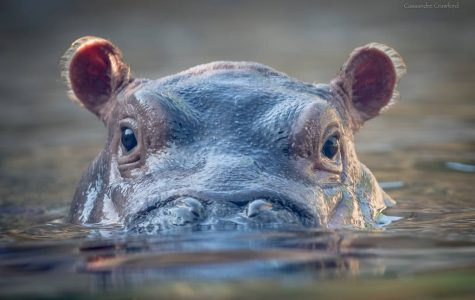 Baby hippo, Fiona, turns one!